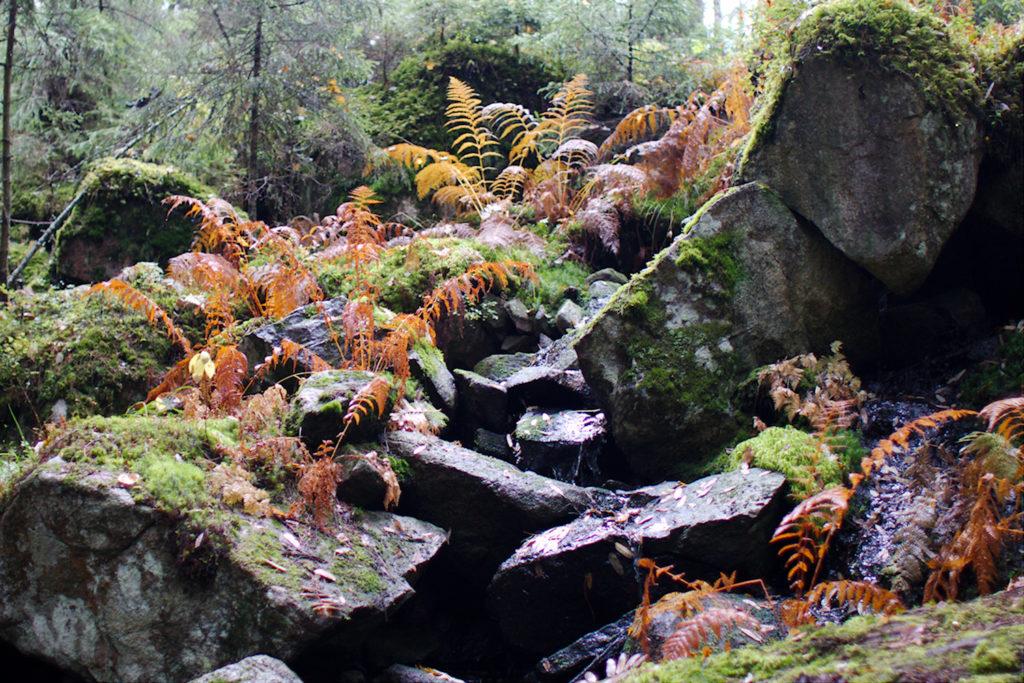 Lammelta valuva puro kivikossa saniaisten keskellä