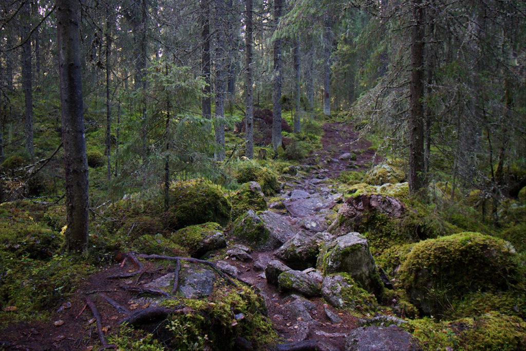 Kivoikkoista polkua sammalpeitteisessä metsässä