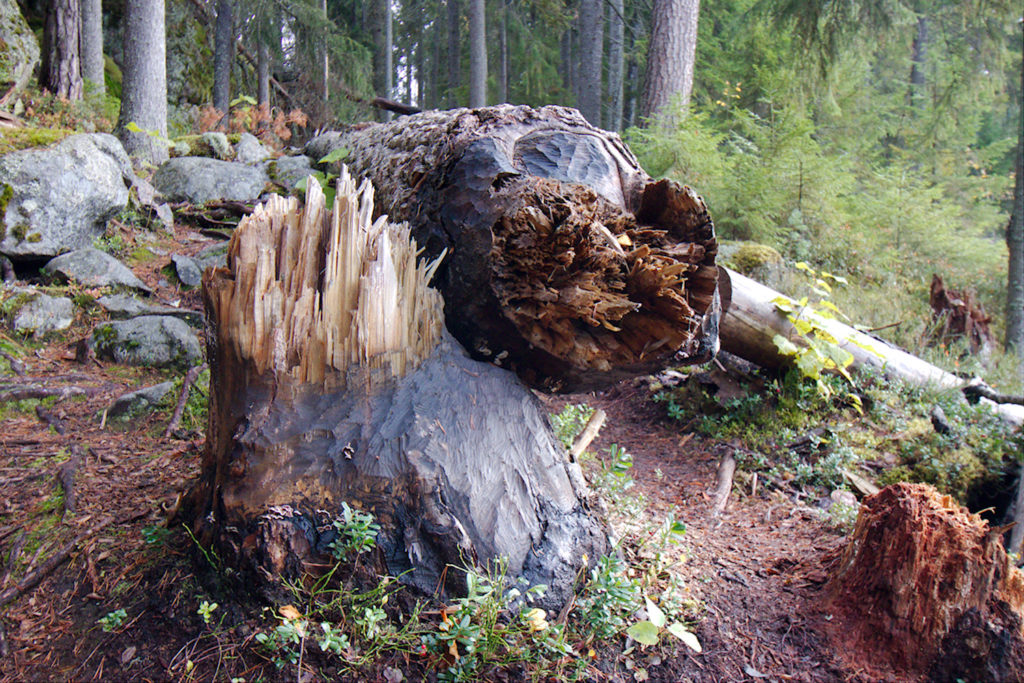 Majavan kaatama iso puu