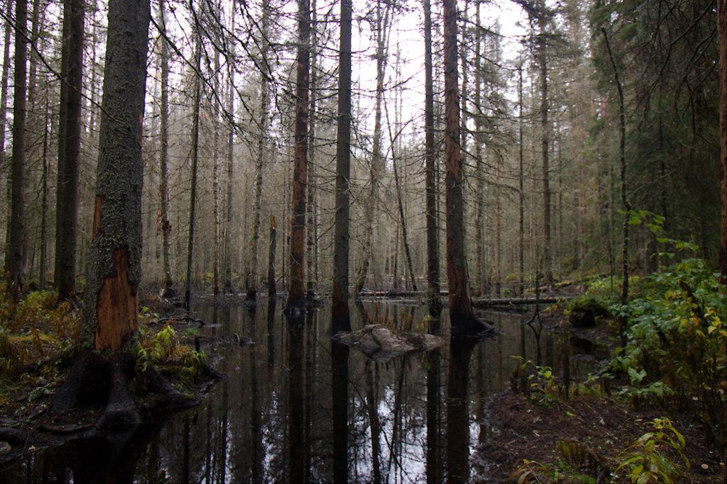 Majavien padot ovat nostaneet veden pintaa