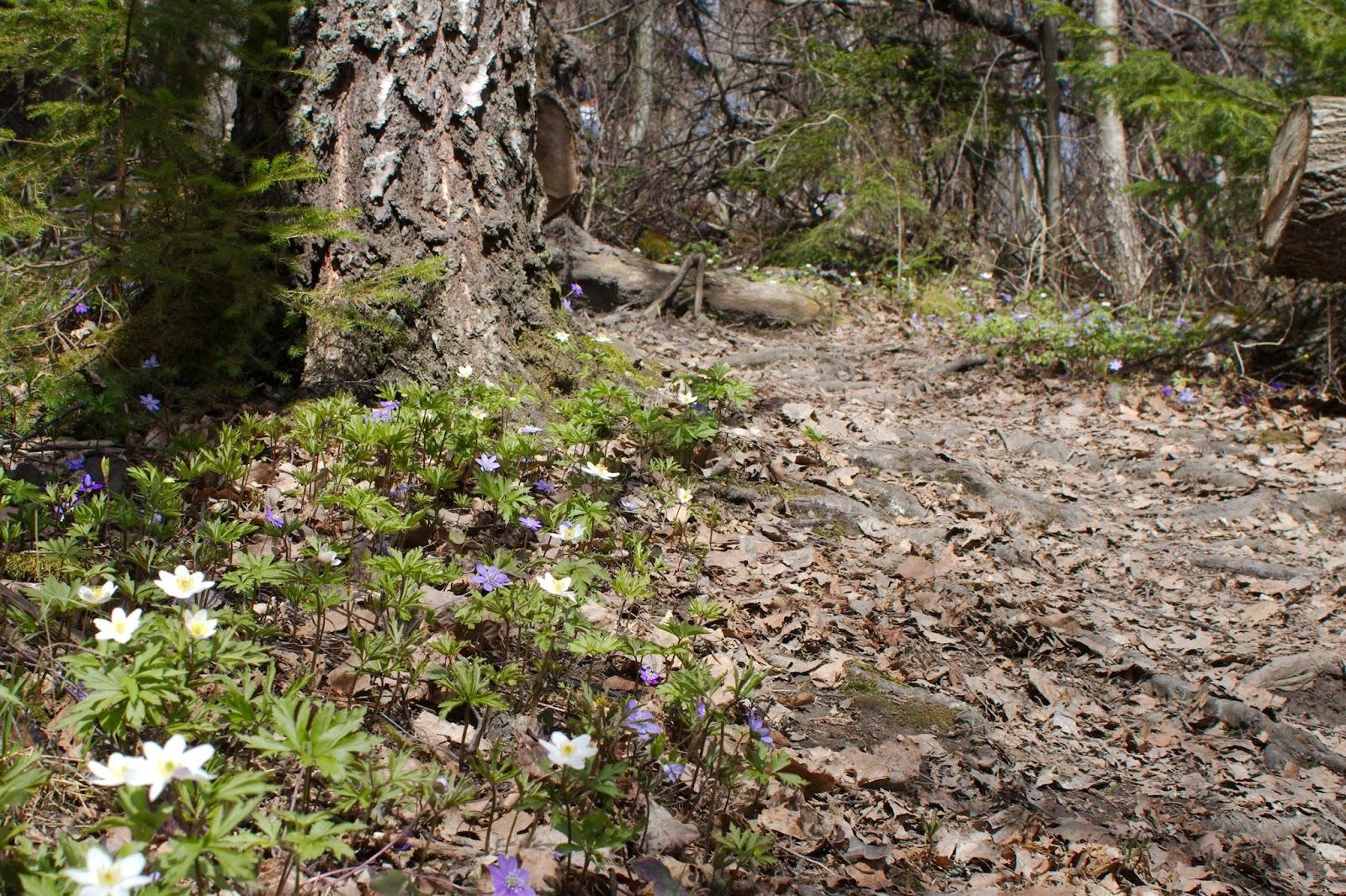 Valko- ja sinivuokkoja polun varressa