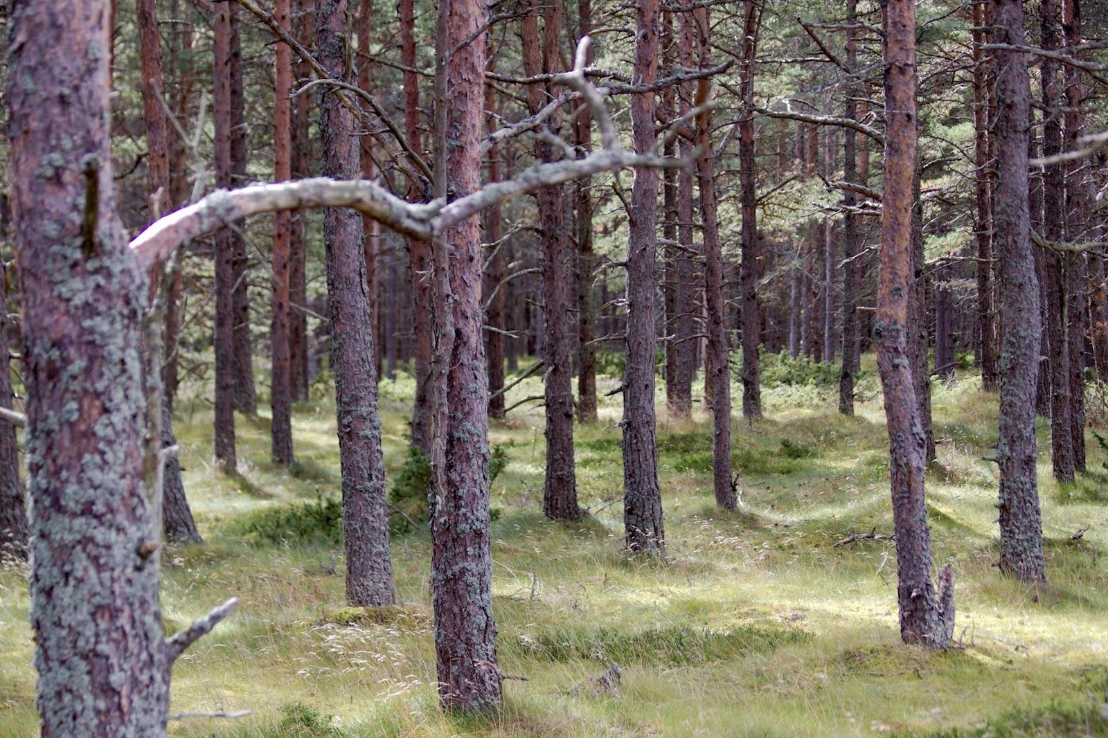 Istutettua metsää Jurmossa