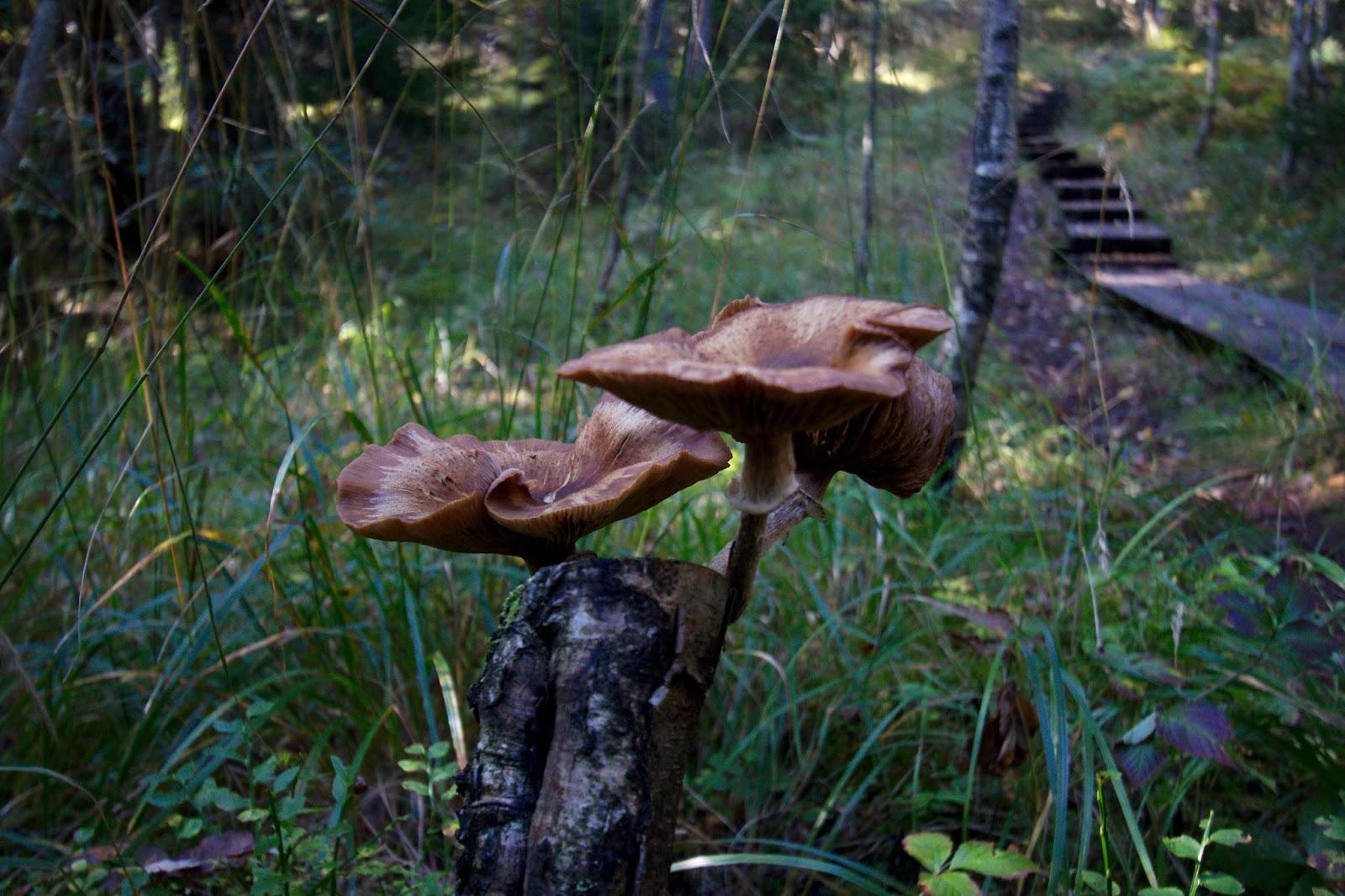 Kannon päässä kasvavia sieniä oli Karnaistenkorvessa paljon