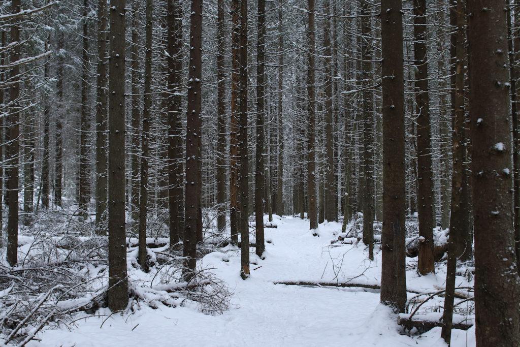 Suoria puita, valkoisia alaoksia.