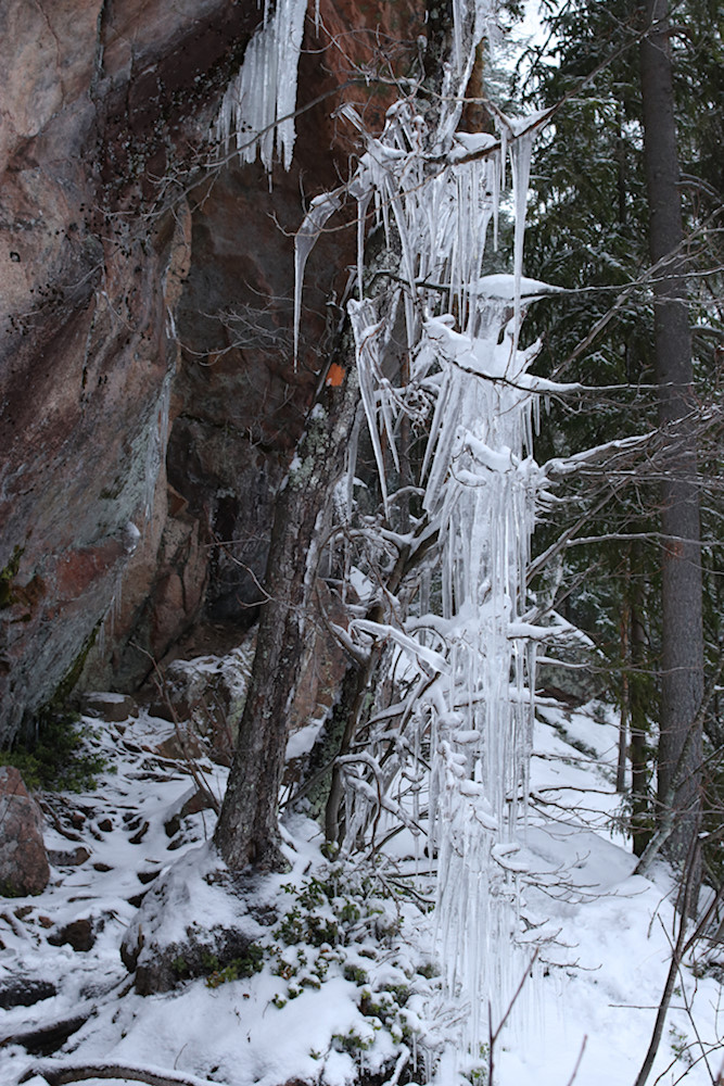 Jääpuikkojen täyttämä pieni puu