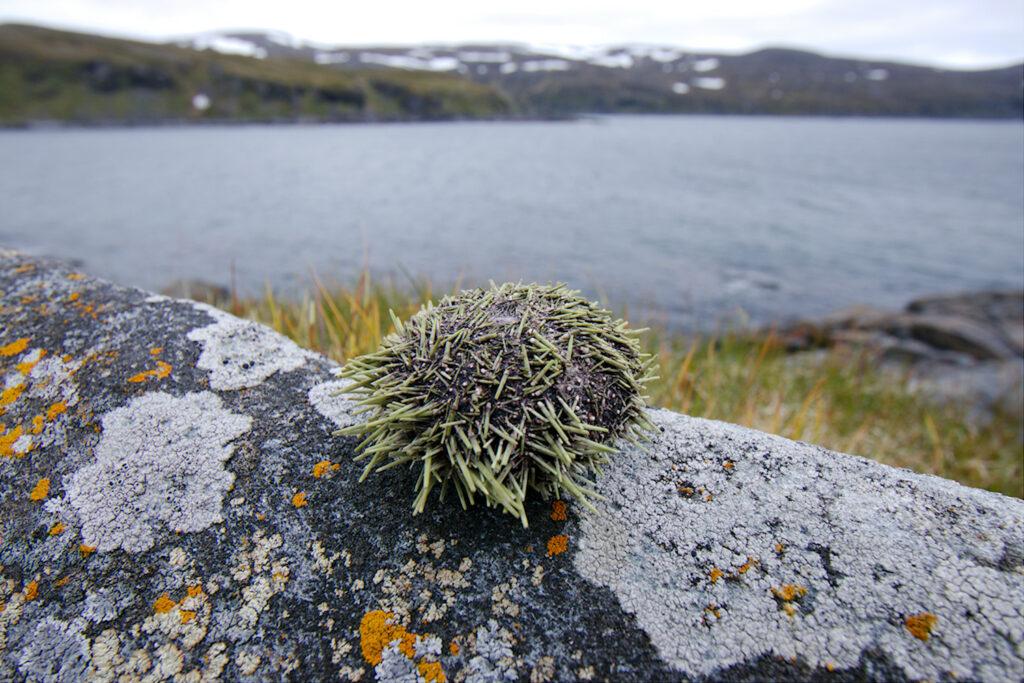 Kuivunut merisiili