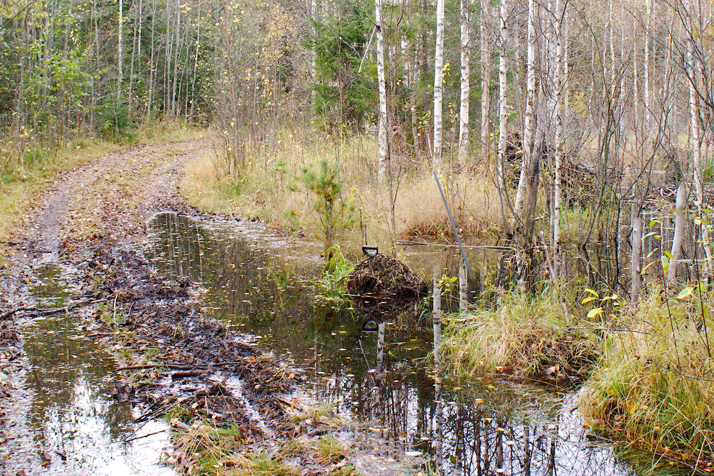 Majavien pato on nostanut veden tielle, tien sivussa ja puussa työkaluja