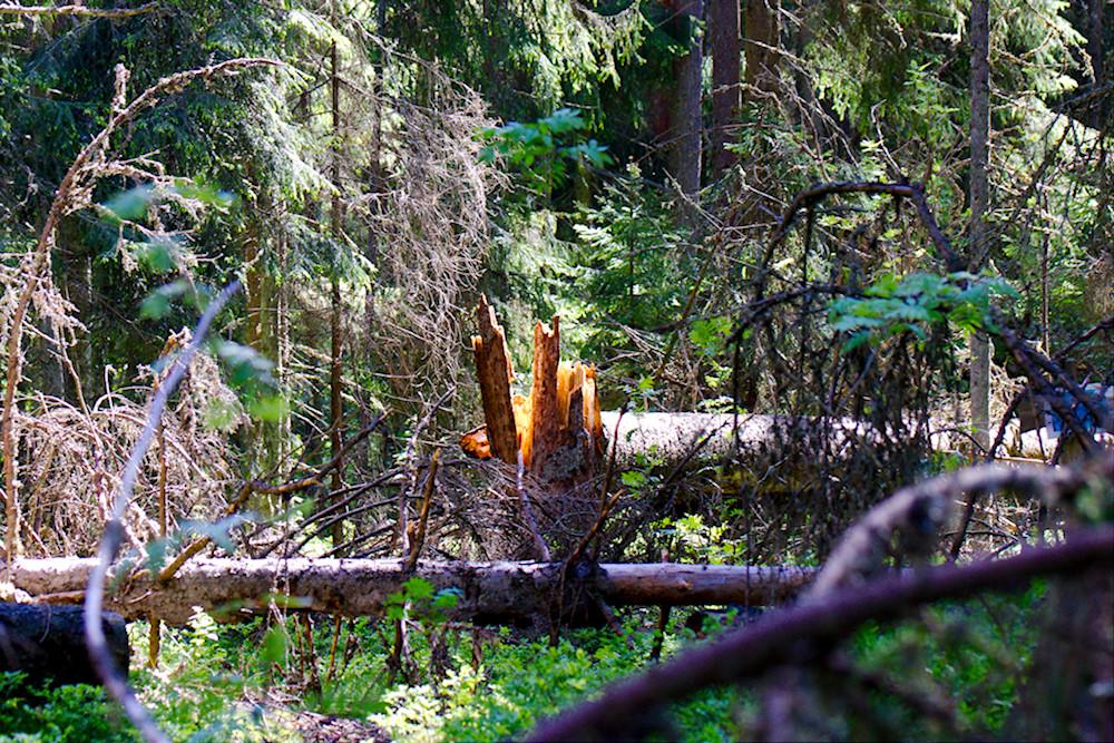 Myrskyn kaataman puun kanto hehkuu oranssina auringossa