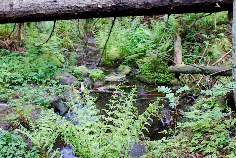 Lähde Mallusjoen vanhassa metsässä
